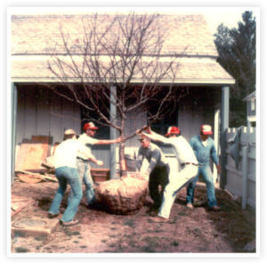 Installation of the Japanese Crabapple Trees in The Castle Courtyard April 1980